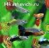 Продам излишки простых рыбок гуппи